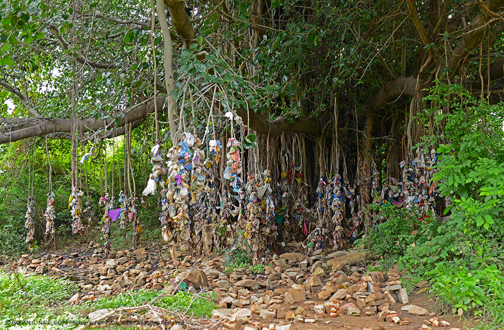 BANYAN TREE DECORATED WITH SOME PECULIAR RITUAL