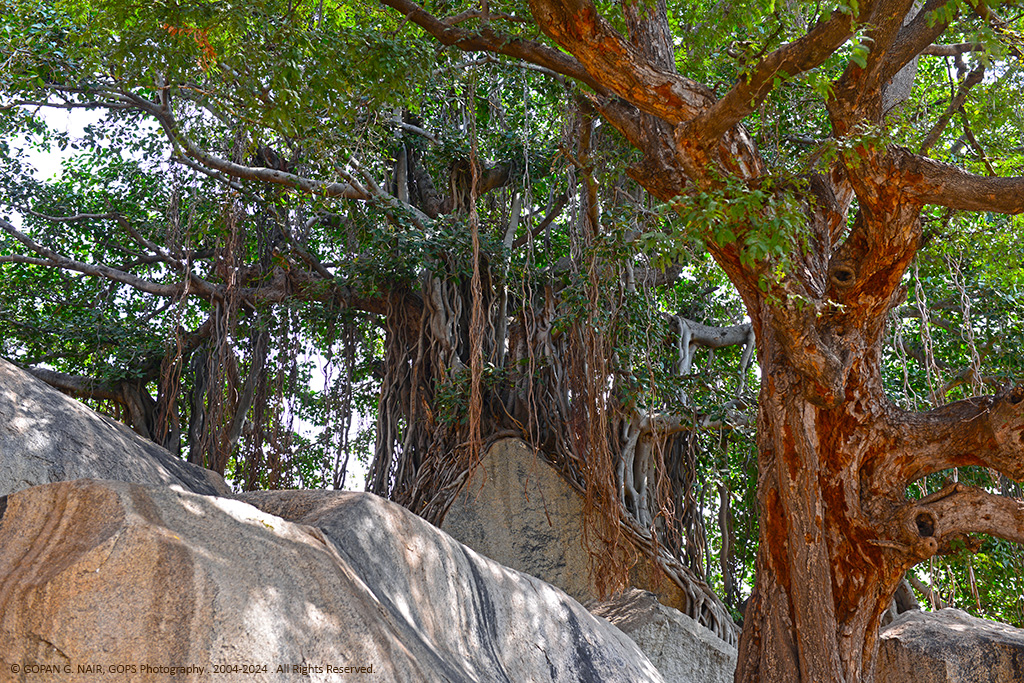 BIG BANYAN TREE ON TOP OF A ROCK