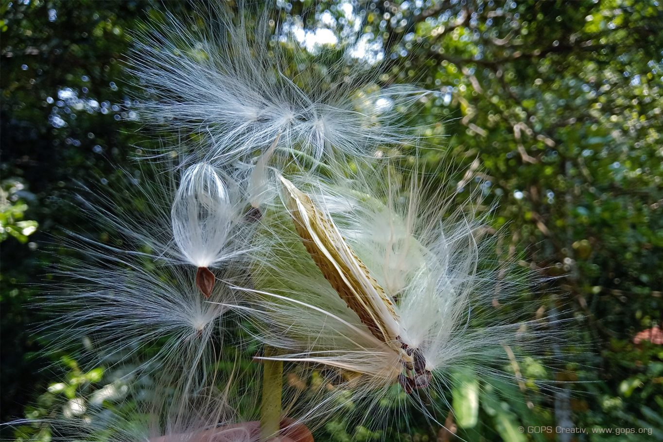 APPOOPPAN THADI അപ്പൂപ്പൻ താടി (MILKWEED SEEDS DISPERSION BY WIND) Calotropis Gigantea (Crown flower / എരുക്കു)
